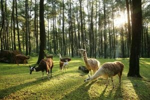 How to go to Pasuruan points of interest. Things to do in Pasuruan safari prigen