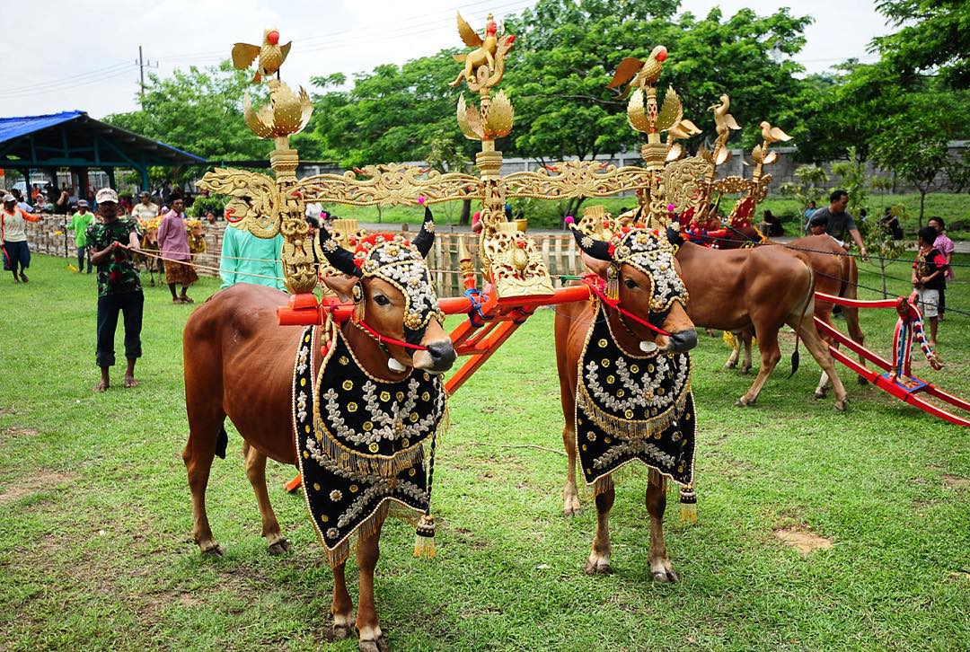 7 Unique Day Trips from Surabaya few people know_Bull Race Madura 1