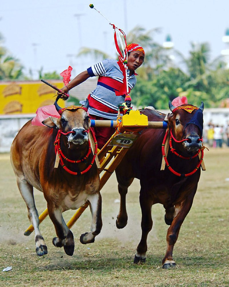7 Unique Day Trips from Surabaya few people know_Bull Race Madura 2